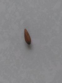 この木の実(堅果)は、どんな木が落としたものですか? 長さ1cm強で、幅は4mmぐらいです。 よろしくお願いします。