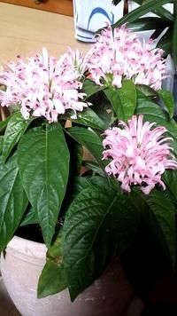 友人から頂いた鉢花ですが名前が分かりません。どなたか教えて下さいませんでしょうか。