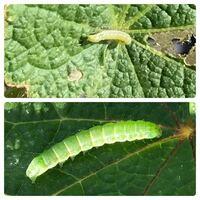 幼虫の種類 写真の幼虫について 種類が分かる方、ご教示ください。  本日福岡県で撮影したものです。 上下の写真は別個体ですが、同じ種類の葉っぱの違う株にいました。 同種かと思い一緒に質問しておりますが、...
