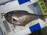 この魚、なんですか?ぜいごも付いてるのでアジの1種ですかね?