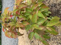 常緑ヤマボウシの葉が写真のように赤くなっています。 自分なりに調べたのですが、似たような症状の病気?が複数あるようで、判別できずにいます。  品種:常緑ヤマボウシ ウィンターレッドペイジ 植え付け:今年...