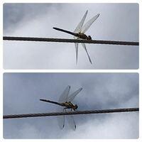蜻蛉の種類 写真のトンボについて 種類が分かる方、ご教示ください。  本日福岡県で撮影したものです。 体色などハッキリ写っておらず、同定は困難かと思います。