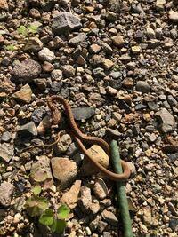 この蛇 はいったい何者… ヤマカガシの幼体!? それとも・・ジムグリ!? 最近自宅周辺よくみかけます