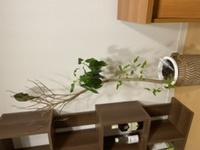 ゴムの木(ファカス)を育てているのですが、今このような状態です。どうすれば再生しますか?? 現在は葉水を毎日気づいたらあげるようにしています。ハダニも取りました。下の方は新しい葉が生えてきています。よろしくお願い致します。