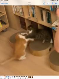 メンタリストDaiGoの猫がキャットファイトで取っ組み合いしてますが これは猫で良くありますか?オス、メスです。 毛繕いでオスがメスのネコの毛をなめてますがこれも良くあるんですか?