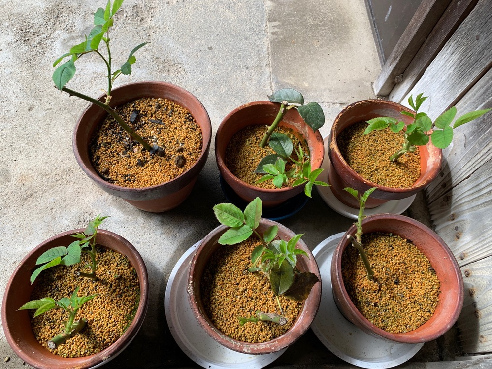 薔薇の挿し木初心者です。 薔薇の鉢上げのタイミングを教えてください。 写真は10月11日現在のものです。 6つの鉢のうち、左側上の端の分は水刺し後、根が出て来たものを鉢上げしたものです。 その他...