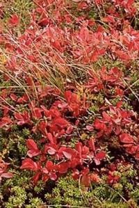 草の名前を教えて下さい。 10月中旬、巻機山の山頂付近の草原/湿原で撮った写真です。紅葉真っ盛りでした。写真一面の赤い葉っぱの名前を知りたいです。 よろしくお願いします。