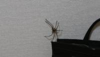 閲覧注意! このクモの名前を教えて下さい。  家にいてふと壁を見たらいらっしゃって、めちゃくちゃびっくりしました。 昼間、家の中が暑くて網戸にしてたのですが、やはり隙間から入ってきたんでしょうか。  足広げた状態で10㎝から15㎝くらいの大きさでした。