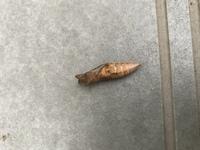 アゲハの蛹を育てています。  この蛹は寄生されていますか? お尻のシワ?の間が黒っぽくなっていて、反対側はこの写真のように黒い点があります。  会社の壁についていたのですが除草剤を撒くとのことで丁寧...