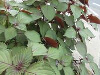 花壇にある植物の名前は?シソ?シソにしては・・・?家にもシソがありますが。 コリウス?