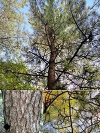 松の木 この松の木は黒松でしょうか?