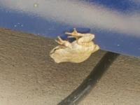 白い蛙を見つけたのですがアルビノですか?