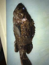 釣り初心者です テトラの穴釣りで 釣れました。 魚の名前教えて下さい