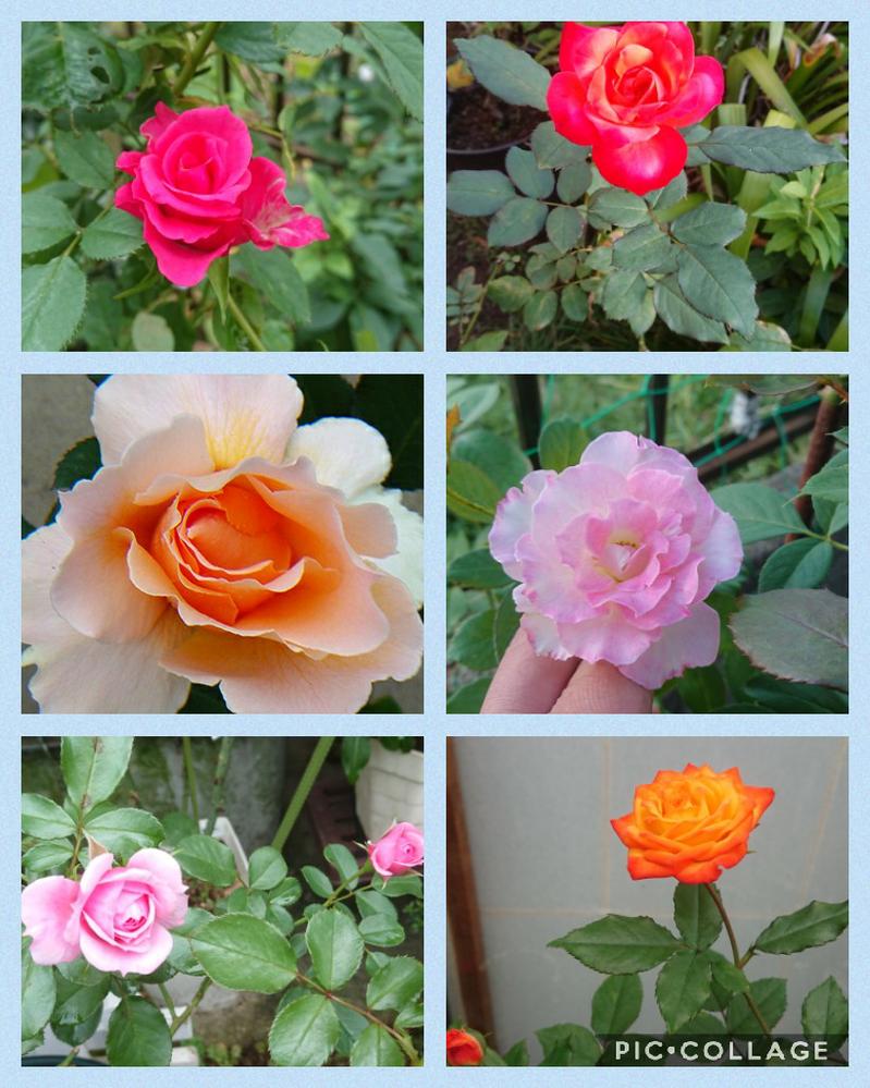 天長さーん、こんばんはー❗ ポチポチと秋バラが咲きだしました。 前回の剪定が遅かったのか今でも小さめの蕾が結構あって冬までに咲ききるか、ちょっと不安です。 ほんとは株全体を撮れば良かったんだ...