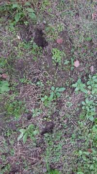 クマの足跡でしょうか? 分かりにくい写真ですみませんが、2つの足跡で足幅は80センチくらい、人間の足跡じゃないし、うさぎでもなさそうです。これはクマの足跡でしょうか?山の畑に行ったら見つけました。でも大型動物が農作物を荒らしたような跡はありませんでした。分かる方教えてください。