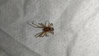 変わった蜘蛛か家の中にいた為、画像検索したところ『ドクイトグモ』と出たため駆除しました。 大きさは頭の先から尾の先までが7ミリでした。 色々なサイトを見ましたが、断定できないため詳しい方のご意見を頂ければと思い投稿させて頂きます。
