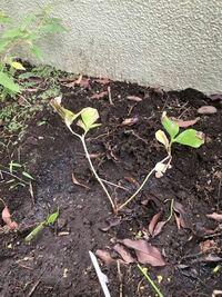 シャクヤクの育て方について。 20年以上植替えしていない為か、シャクヤクの花が咲かなくなりました。 昨日株分けして植替えましたが、葉が黒ずんでいるため、カビ対策の薬も散布しました。 シャクヤクは、葉が枯...