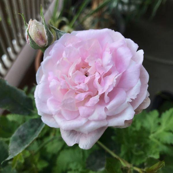 この薔薇がラレーヌヴィクトリアっぽくなる日は来るのでしょうか? 冬に大苗のラレーヌヴィクトリアを購入しました。 春に咲いたのが写真のように平咲き?になりました。夏に咲いたのもこんな感じでした。鮮...