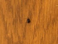 この黒くて小さい虫は何ですか? 体長5mm位で真っ黒ですが、触覚と後脚の先だけが鮮やかな黄色です。 Gの赤ちゃんなんでしょうか?