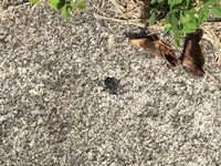 虫に詳しい方回答お願いします。 今朝、玄関の掃除をしていたところ添付な様な虫がいました。 基本的にゴキブリ以外は放っておくのですが、この虫は初めて見ました。 放っておいて良い虫か知りたいと思います。...