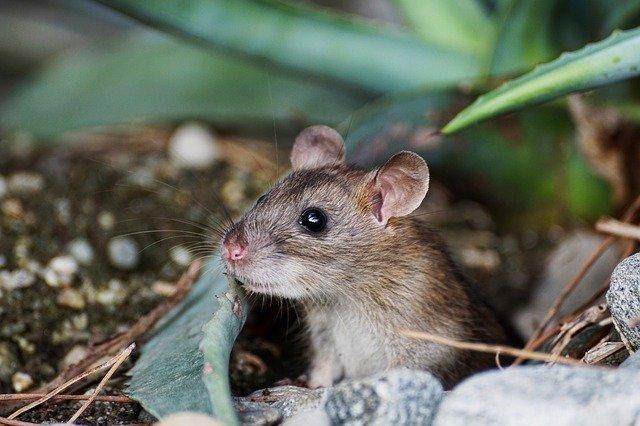 ネットにあった画像で見つけました。 このネズミはなんというネズミですか? また、子供ですか?成体ですか? 詳しい方、よろしくお願いします。