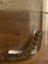 何の幼虫でしょうか? セスジスズメに似ているんですが、尻角がないです。