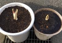 ★シシウド?の育て方について★  いつもお世話になっております。 お向かいの方が実家の持つ山に緑と黒の縞々のアゲハらしき幼虫が食べている野草が自生していると言われて、根を掘り起こして3株ほど持ってきて...