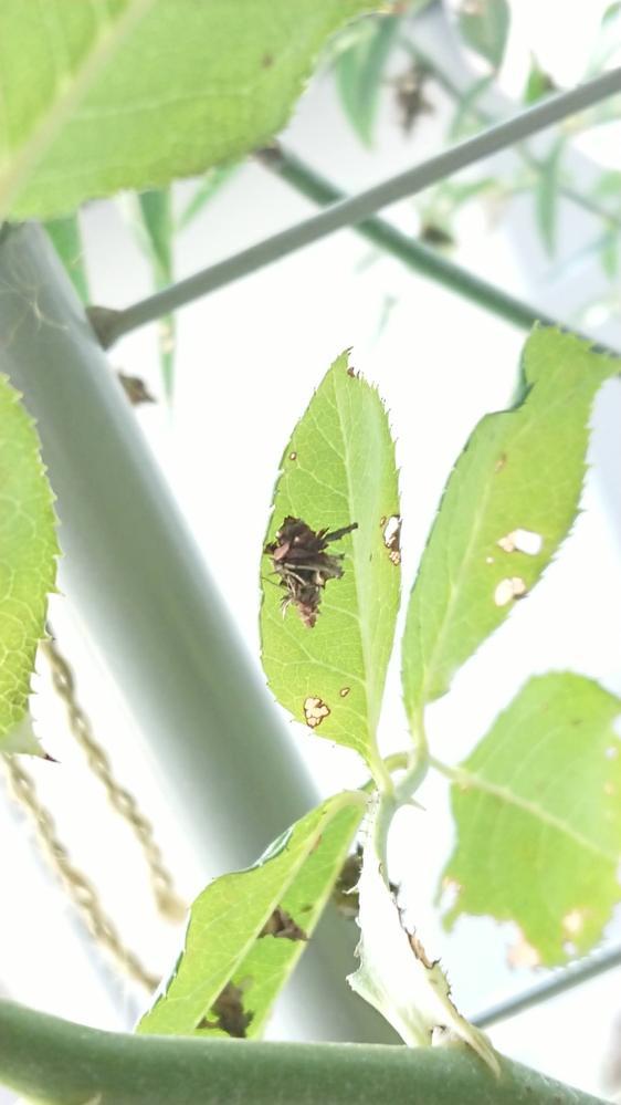 ベランダのバラの葉に見たことがない虫がたくさんついています。 葉を食い荒らしており、ぴったり葉っぱにくっついているものもいれば、糸を垂らしてぶら下がっているものもいます。 ガーデニング用の薬品...