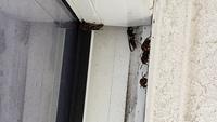 最近、家の屋上に小さめのハチが5~6匹飛んでいて怖いです。壁とパイプの隙間に居ることが多いです。 何バチなのでしょうか?刺されないか心配です。 分かる方、いらっしゃいましたら教えてください! (九州在住...