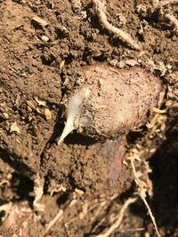 里芋掘ったら芽が出てました。 どの様に保存しますか?