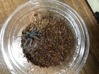 タランチュラのブラジリアンブルーの幼体を飼っているのですが今の状態で、雄雌の判別はつきますか?