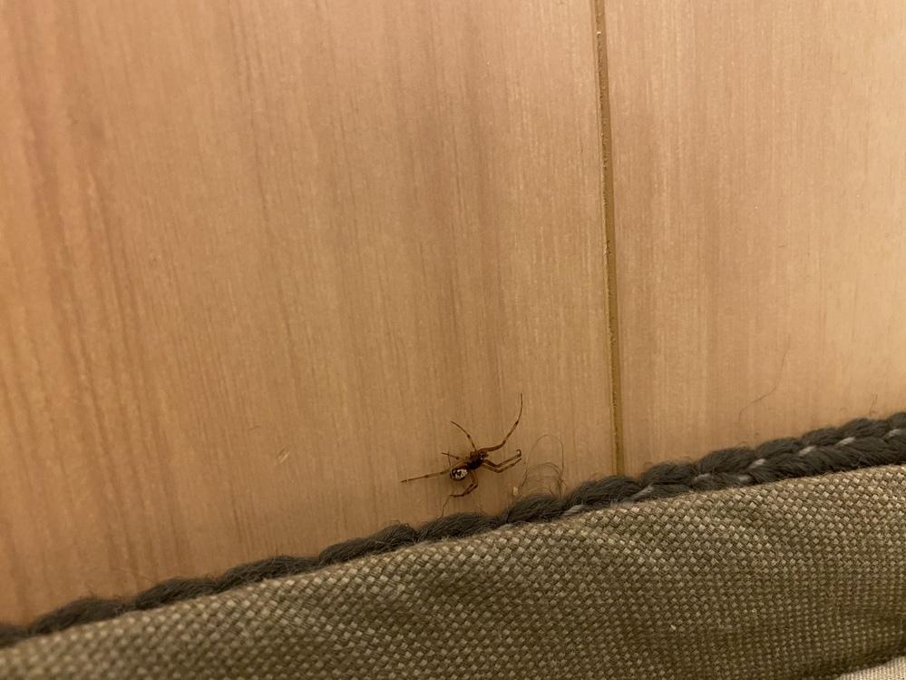 このクモは一体なんでしょうか?? 夜突然出てきてびびってしまいました。 だいたい指の第一関節くらいの大きさです。