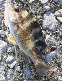 魚の種類について質問です。  宮崎市の、清武川河口の近くにあるテトラポット(海)にて、写真のような魚がつれました。 なんの魚なのかわかる方、よろしくお願いしますm(_ _)m ちなみに、大きさは10㎝位でした。