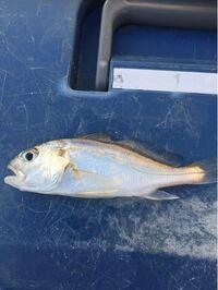 この魚の名前を教えて下さい。10センチくらいでした。
