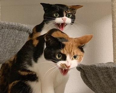 猫は掃除機が出す 大きな音が嫌いなんですか? 二匹ともこの鬼の形相・・・ (ΦωΦ) (ΦωΦ)