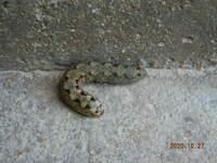 今朝、車庫で見慣れない生き物を見つけました。  この生き物をご存じの方教えて下さい。 愛知県平野部、周辺は水田地帯 民家があります。