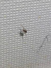 このクモは毒グモでしょうか。家グモと呼ばれるものでしょうか。 5ミリほどの小さいクモで、蜘蛛の巣を作っています。 色は薄茶色のようですが、小さくて模様まではわかりません。 このまま放置していいのか教えてください。