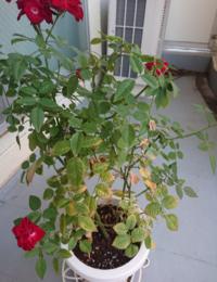 ミニバラ栽培について ミニバラの葉の下の方が黄変して枯れてきました。 生理現象なのか、根腐れなど他の要因なのかが分かりません。 冬まで様子見か今から鉢替えをするか、対応策がありましたらご教示ください。