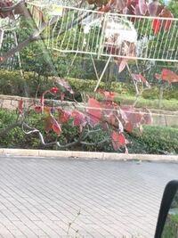 これはなんと言う植物ですか?街路樹です。