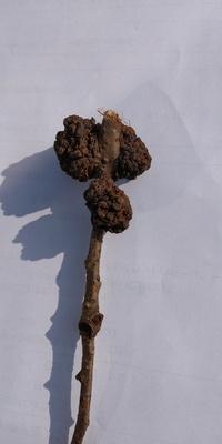 先日、熊本市の立田山という山の森の中で子どもが写真のような木の枝にとりついたような塊を発見しました。木の枝は地面に落ちていました。 この塊は何でしょうか?菌類のなかまと思いますが、詳しい方、教えて下...