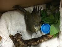 道路で飛べずにいたので保護したのですが、 この鳥はなんて言う鳥なんでしょうか。 足が変な方向に曲がっているのですが動物病院で見て貰えるものなんでしょうか。