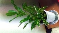 観葉植物の名前教えてください! 家に縁あって来た観葉植物の名前を教えてください! 名前が分からないので育て方が分からない状態です! ちゃんと育ててあげたいので名前が分かる方、教えてください!