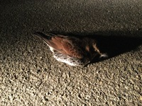 野鳥の死因についてご意見をお願いいたします。  今朝4時頃、鳥好きの知人から駐車場で動かない野鳥がいると連絡がありました。 よく深夜道路とかで休んでる鳥もいるのでと話しましたが、近づいても逃げず様子...
