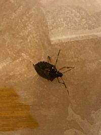 画質荒くてすみません。 家に出た虫なのですが、これはなんという虫でしょう。 また、侵入経路や害虫かどうか、既に増えているかどうかを教えていただけないでしょうか?