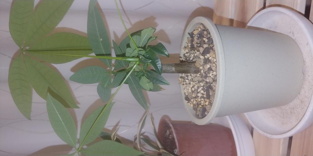 パキラを小さい木で売っていたので、鉢植えにしました。葉っぱはどんどん育つのですが、木が大きくなりません。2ヶ月になります。 木の部分も大きくしたいのですが、大きくなりますか?
