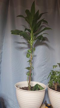 この観葉植物一年もしないのに20Cm以上伸びてしまいました、来年春にはどうにかしたいのですがどうすればいいのでしょうか? 普通に切って植え替えるのか? それともこのままにしておかないといけないのでしょう...