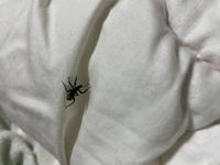 虫が出ました!(画像あり) 昼間に外に布団を干し、取り込んだ時にくっついてきたようです。 動きは遅く、飛んだり跳ねたりはしません。 体はキラキラしてますが、気持ち悪いです。 害虫でしょうか。