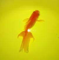 大至急 尾腐れ病だと思い、グリーンFゴールド顆粒での薬浴をしているのですが、同じ容器に居る他の金魚は全く尾腐れではなくこの子だけです。 症状は、尾ビレと背ビレに出ています。 また、以前赤斑病だと思いこ...