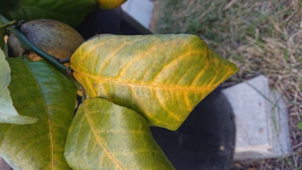 レモン、すだちの葉っぱが黄色くなって落葉してしまいます。原因は何でしょうか レモン、すだちを60Lの大型プランターに植え付けています。 春夏は全く問題ないのですが、秋~冬、寒くなってくると葉っぱ...