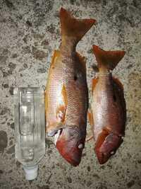 この魚は、クロホシフエダイでしょうか。   沖縄で釣りました。  シガテラ毒は大丈夫でしょうか。 どんな料理が美味しいでしょうか。   なんとなく煮付けがうまそうです。